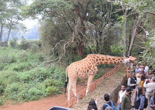 View of crowd and one giraffe being fed by visitors at Giraffe Centre Nairobi