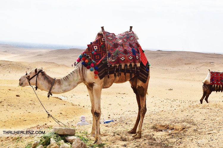 A camel dressed in traditional fabrics ready to take rides from tourists