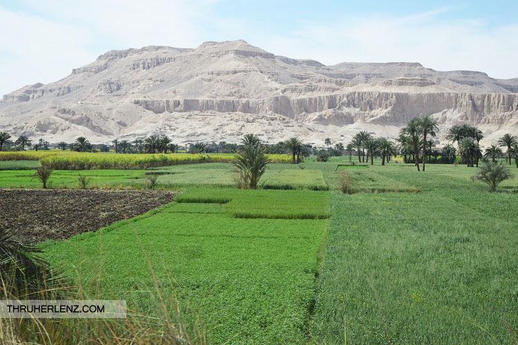 Luxor green vast Sugarcane Fields